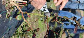 Formação prática de podas de mirtilos em Nisa e Sever do Vouga